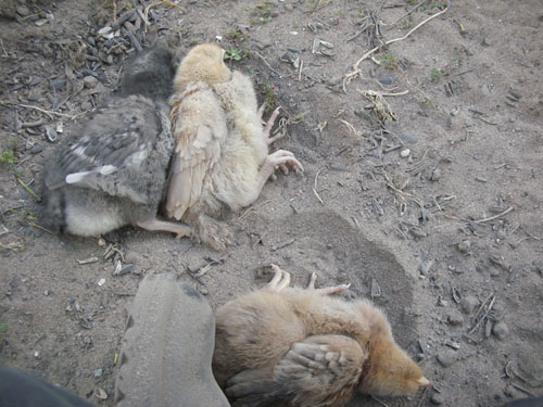 Chicks in dust bathing poses
