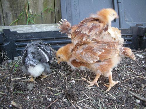 Chicks a-pecking