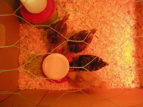 Chicken feeding time