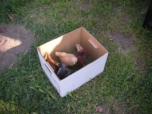Chicks in the transport box