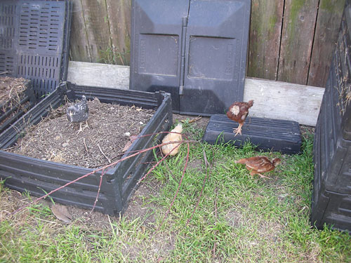 Chickens in their yard