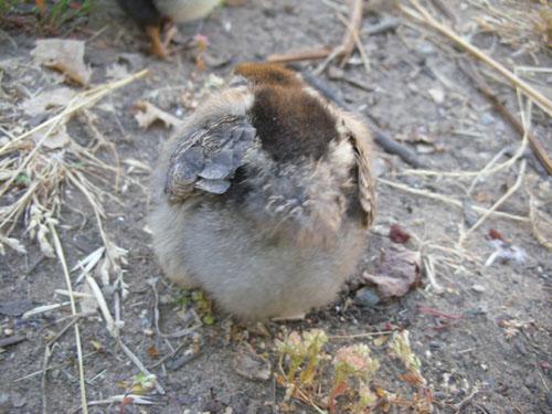 Chick butt