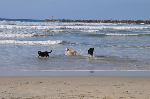 Running into the water at the dog beach