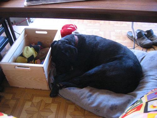 Rosie asleep under the desk