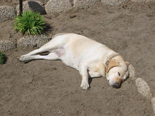 Goldie snoozing