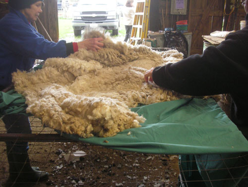 Orienting the fleece with the head toward the door