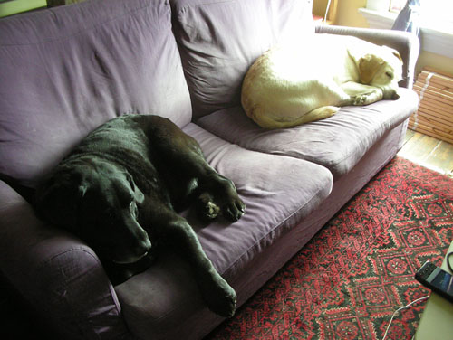 Two dogs and a purple couch