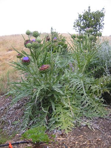 Artichoke+plant+pictures