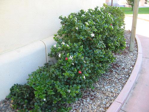 Mystery shrub