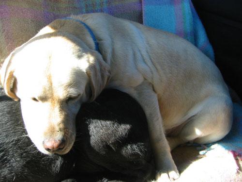 Golide lying on Rosie
