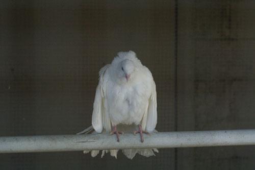 Irritated pigeon