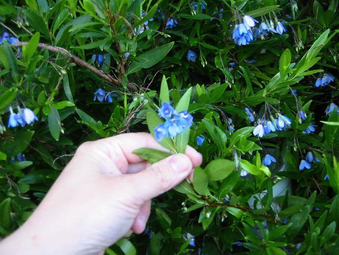 sollya heterophylla
